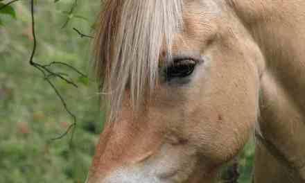 Fodring af ældre hest der taber huld