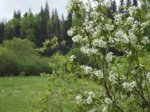 Saskatoon blossoms