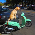 Impressively obedient dog chills on scooter while owner goes to Apple Festival in Park