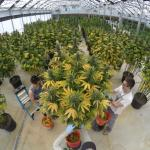 Time lapse of big-leaf picking cannabis in a greenhouse
