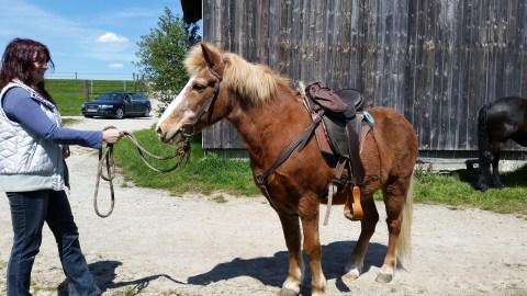 Our oldest senior Bangsi at 34 enjoys his barefoot saddle.