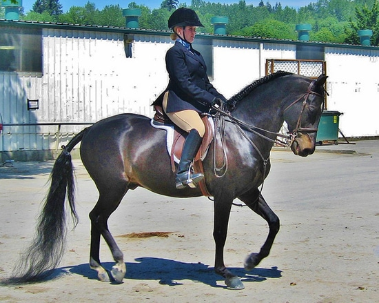 Morgan Pony Excels At High Level Dressage Horse Lover S Math
