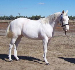 White Quarter Horse