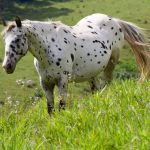 What Horses Have Spots Breeds Colors And Patterns