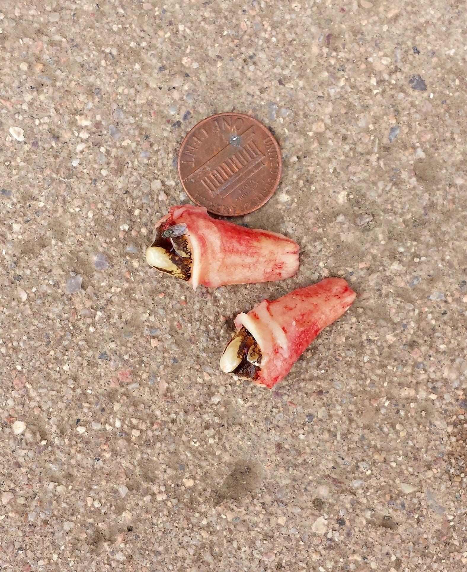 Wolf Teeth Present