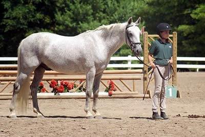 Connemaras Come to the Virginia Horse Center