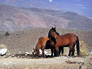 BLM Ends Nevada Wild Horse Fertility Project