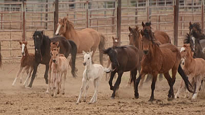 Comments Needed on BLM Experiment to Spay Wild Mares