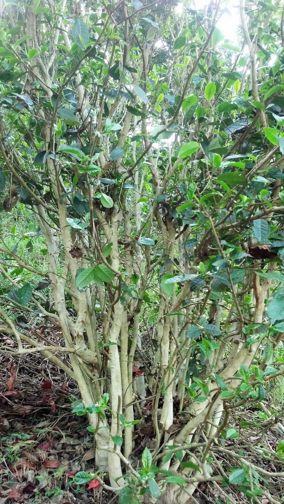 gua-feng-zhai-cha-wang-shu. Ancient tea tree