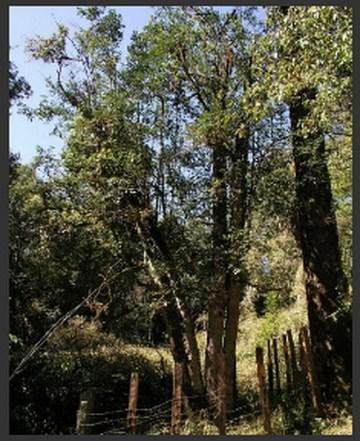 bada ancient wild tree