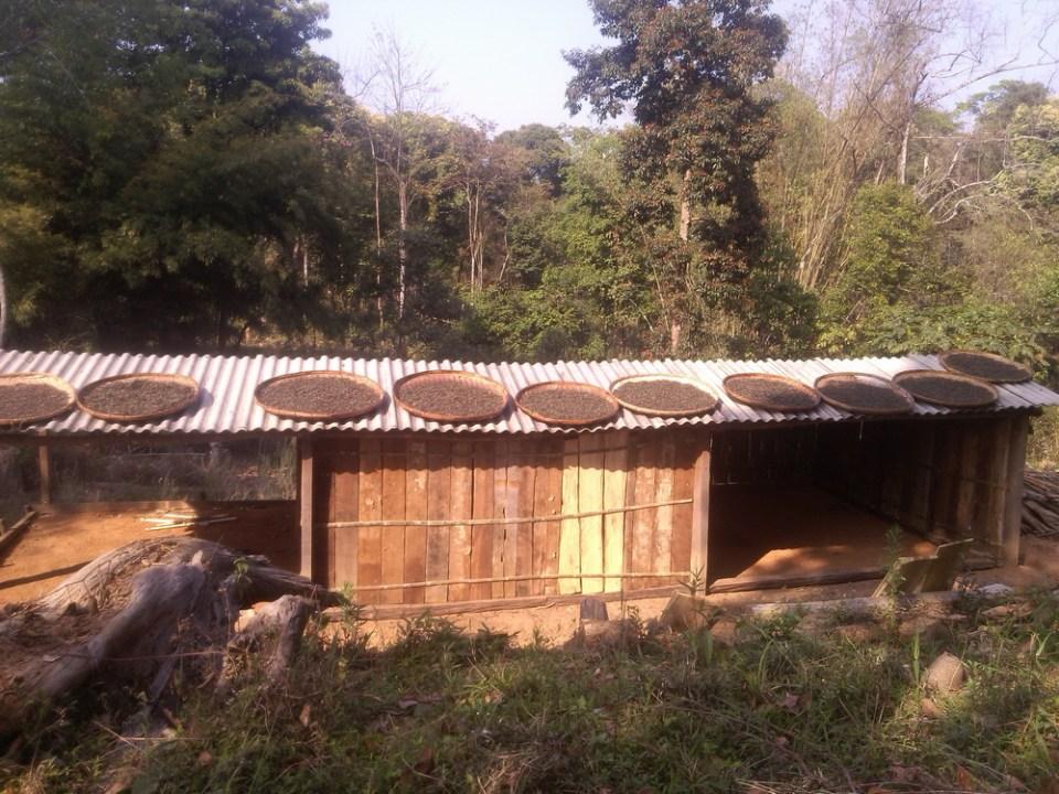 puer tea drying in man ya lao zhai