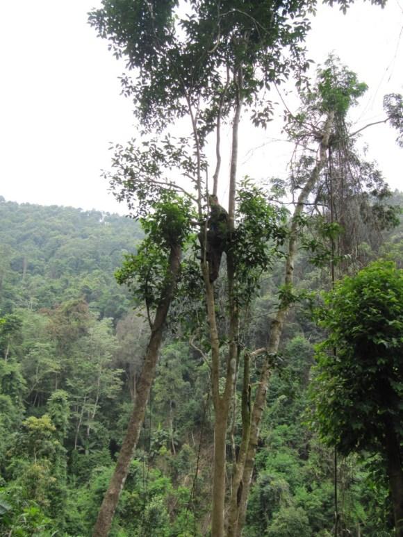 Tea Tree growing in the wild