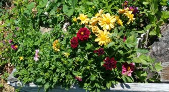 Dahlias living it up in the cucumber bed.