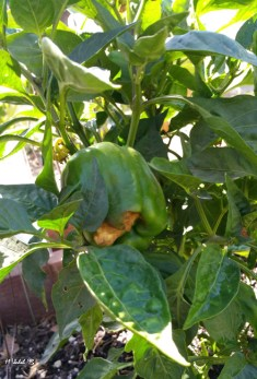 Something wicked ails this red bell. This is the second fruit with a burnt patch like this.