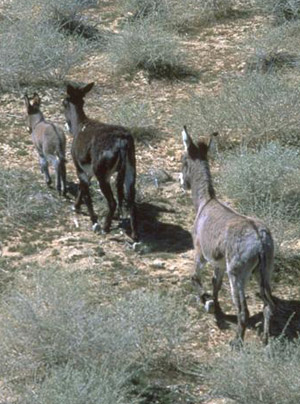Wild burros on the range