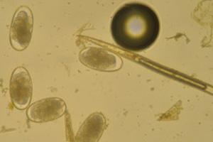natural-dewormer-egg