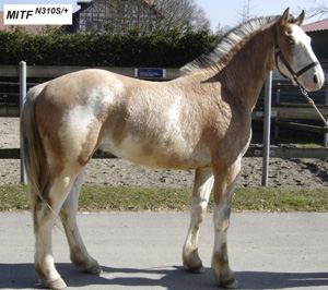 Macchiato coat color phenotype in a Franches-Montagnes stallion