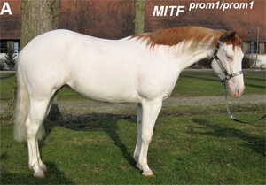 American Paint Horse with a very pronounced depigmentation phenotype.