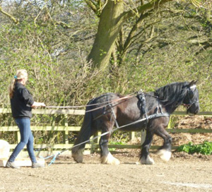 Former Spindles Farm rescue pony Star in training to pull a carriage.