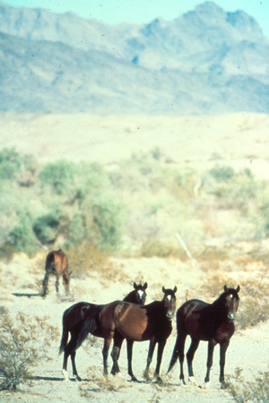 Wild horses in California