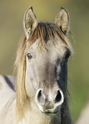 The Konik Horse