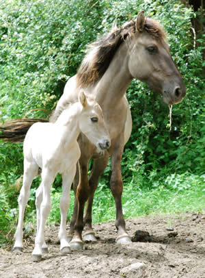 A Konik mare and foal.