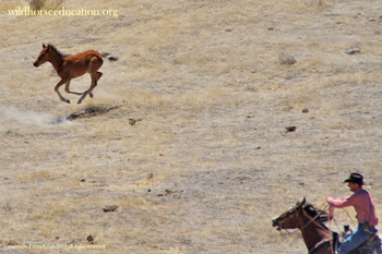 Foal that escaped trap being roped by BLM on the third day of emergency roundup