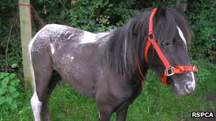 A pony believed to accept lately had a foal has been flora abandoned inwards Surrey Pony abandoned amongst maggot-infested legs