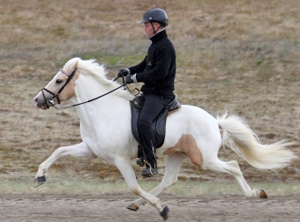 An Icelandic horse performing the tolt.