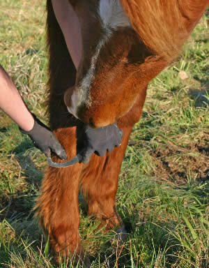 Using a bot knife to scrape bot eggs off the horse's hair will help destory many bot eggs.