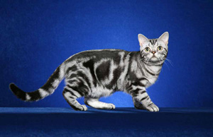 """A cat with the """"blotched"""" coat pattern."""