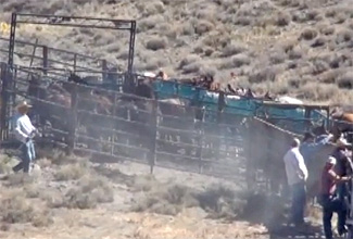 Wild horses in holding pens just before the incident where the stallion broke his leg.