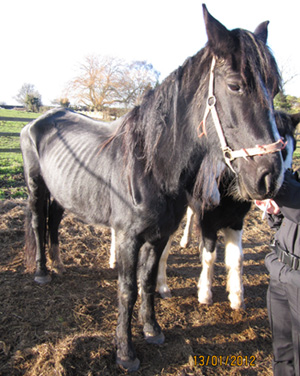 The mare as she was found by inspectors.