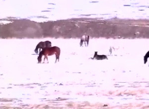 Some of the Leachman horses near Billings in Montana, at the time of the January 2011 hay delivery.
