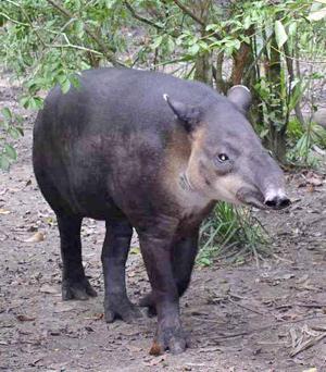 A Baird's tapir in Belize
