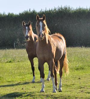 horses-stock