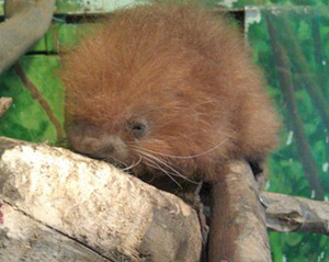 A baby prehensile-tailed porcupine can be seen on exhibit with its parents Comica and Elvis inside the Windows to the Wild exhibition at Stone Zoo.