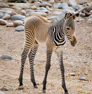 The new Grevy's zebra colt foal, pictured at a week old.