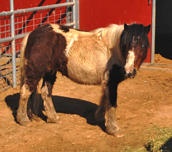 The miniature horse whose owner died while trying to recapture him.