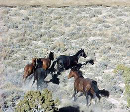 Wild horses in Nevada.