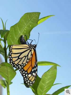 A parasite-infected monarch butterfly lays her eggs on medicinal tropical milkweed that will help to protect her offspring from disease.