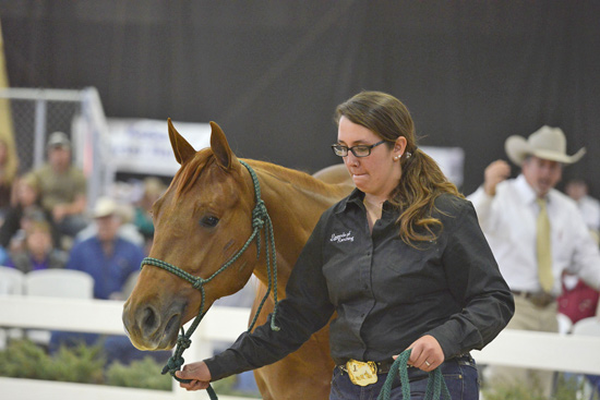 The high-selling young horse in the 2013 CSU Legends of Ranching sale, Gunpowder Pick, was trained by equine student Kawena Schuman.