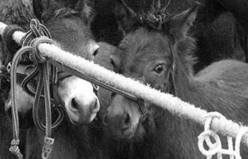 Mares and foals are often crammed in with stallions on their journey to slaughter.