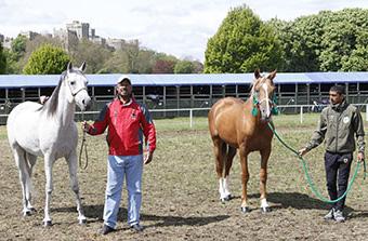 The two arabian horses gifted to Queen Elizabeth II by King Hamad bin Isa Al Khalifa of Bahrain.