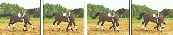 Braking phase of the right front leg.  The braking phase lasts from impact to 40% of the time the hoof remains on the ground