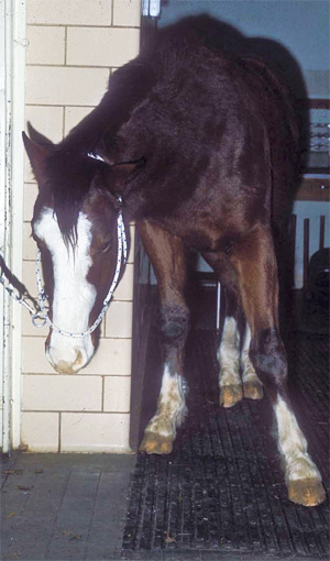 Horses with EHV show decreased coordination and will lean against a wall or fence to maintain balance.