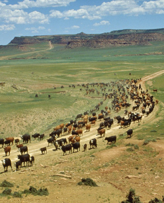Cattle being driven on range land in Wyoming.