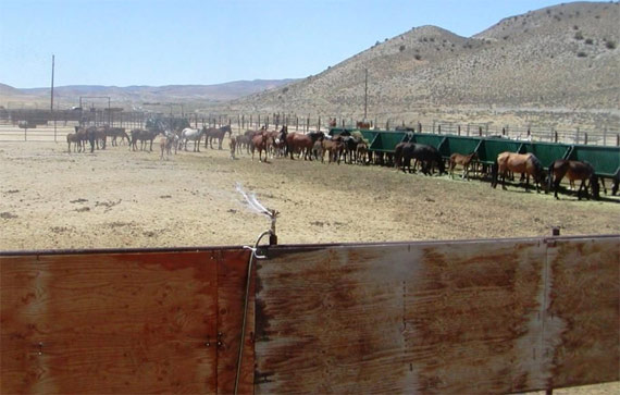At the BLM's Palomino Valley Wild Horse and Burro Center outside Reno, a sprinkler attached to the panel of a large wild horse pen sprays water while horses eat in the distance.