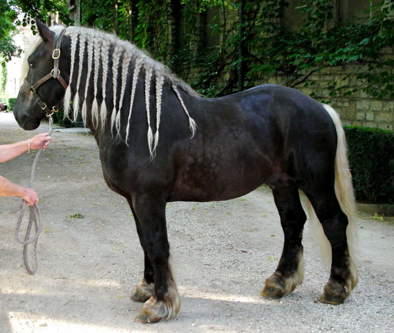 Stallion with dark chocolate coat and flaxen mane and tail (black heterozygous Silver).