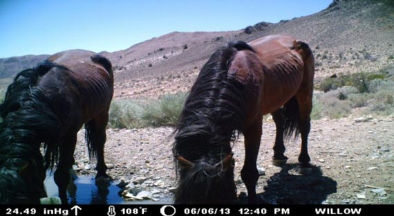 A remote camera shows the condition of two horses drinking at a water source in one of the areas to be targeted. The image was taken in June.
